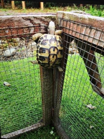 Kletterschildkröte