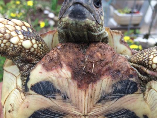 VerletzeSchildkröte